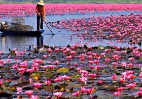 Red Lotus Sea in Udonthani Thailand